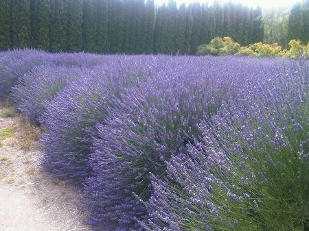 Twitter / Recent images by @AnnabelLangbein. Central Otago lavender - looks and smells divine!