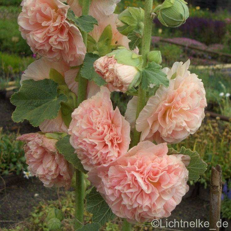 Stockrose (Alcea rosea plena)