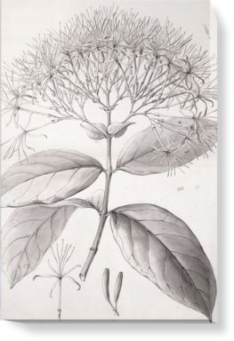 Drawing by Ferdinand Bauer published in 'A Description of the Genus Cinchona' A. B. Lambert.