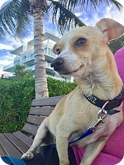 Miami, FL - Fox Terrier (Toy)/Chihuahua Mix. Meet Rocky, a dog for adoption. http://www.adoptapet.com/pet/18826717-miami-florida-fox-terrier-toy-mix
