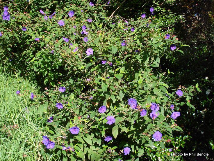 17 best images about plants novato ca on pinterest for Purple flower shrub california