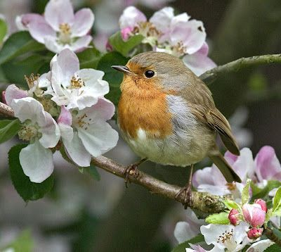 English Robin and apple blossoms