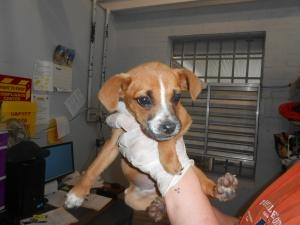 """""""ALICE"""" BABY BOXER MIX NEEDS A HOME! OXFORD, NC...Alice is an adoptable Boxer Dog in Oxford, NC. A tiny little girl at only 4.2 lbs , she will grow into a medium sized boxer mix. SHe is full of pup sweetness and likes to give kisses...."""