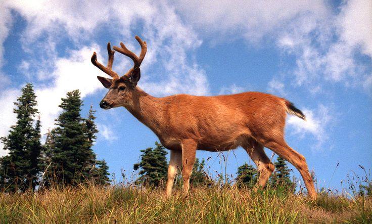 Mule deer (Odocoileus hemionus). (Here, intruder).    Columbia Black-tailed Deer - Hurricane Ridge - Olympic National Park, Washington (USA).    Cerf hémione dans le Parc national Olympique. Washington (USA).    Author: Benjamin Zingg.