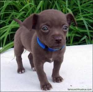 Top 25  best Short haired chihuahua ideas on Pinterest | Chihuahua ...
