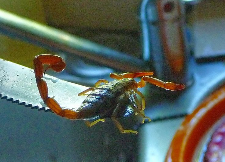scorpion en Guadeloupe