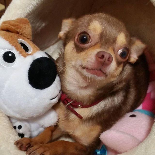 巨大な縫いぐるみのオモチャは全て彼女の担当ズルズル寝ぐらに運んでいきます✋大きいのは人気ないから誰もとらないよ~ん #チワワ#愛犬#多頭飼い#チョコタン#chihuahua#chihuahuas#pawsomechihuahuas#onlychihuahuas#l4l#ilovemydogs#lovemydog#instadogs#instachihuahua#chihuahualover#chihuahualove#chihuahualife#dogstagram#cutedogs#dog#lovelydog#dogsofinstagram#chihuahuasofinstagram#dogoftheday