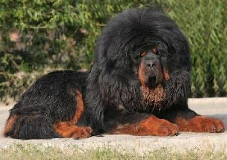 Tibetan Mastiff for Sale | Photos for TIBETAN MASTIFF PUPPIES FOR SALE