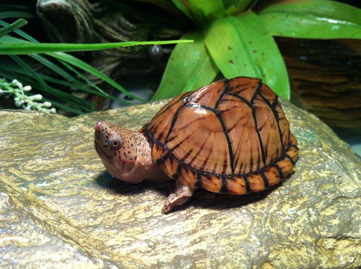 Razorback Musk Turtle (Sternotherus carinatus)