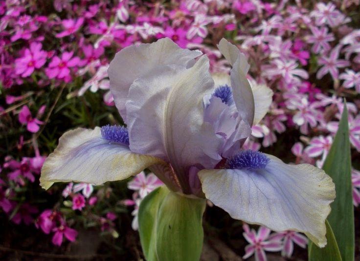 'Blue Hope' Iris SDB