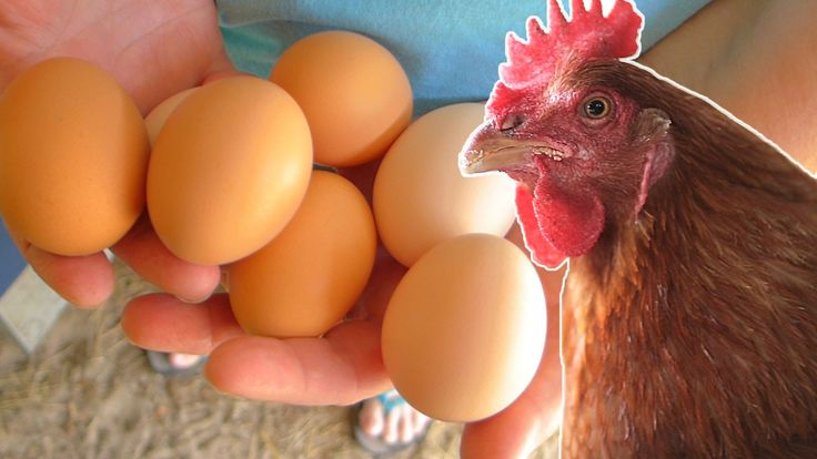 What to feed your chickens so they lay eggs year round. | Becky's Homestead {video}