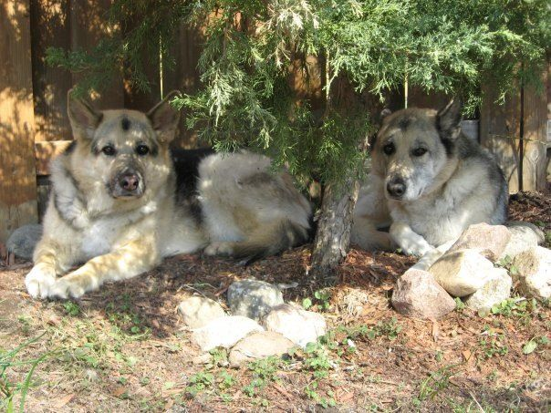 Shepherd, husky, wolf mix (Mom 'Gage' on right) and shepherd, husky, wolf, collie mix (daughter 'Kobe') on left.   -- my girls!   Love them!