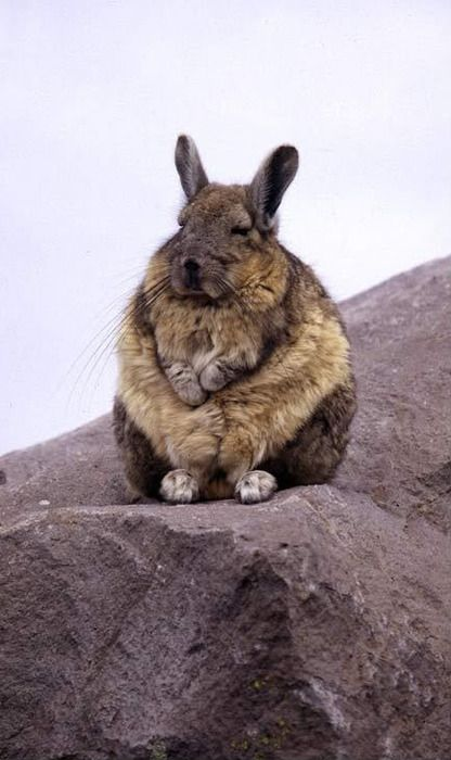 meditating viscacha not a bunny closer to a chinchilla but some convergent evolution going. Black Bedroom Furniture Sets. Home Design Ideas