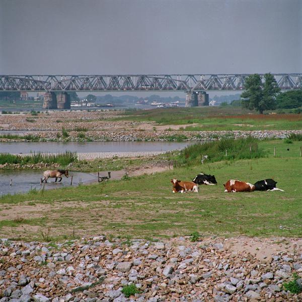 Uiterwaarden met koeien langs de Waal bij Neerijnen met op de achtergrond de brug te Zaltbommel