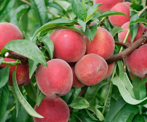 healthy fruit smoothies dwarf fruit trees