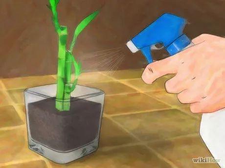 Como Cultivar um Bambu da Sorte