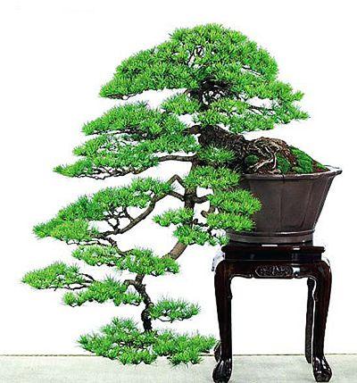 Yixing Bonsai Pots On Sale   ... Bonsai,cherry blossom bonsai,bonsai fertilizer,bonsai for sale,juniper