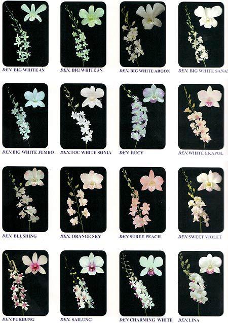 Сорта орхидеи Дендробиум
