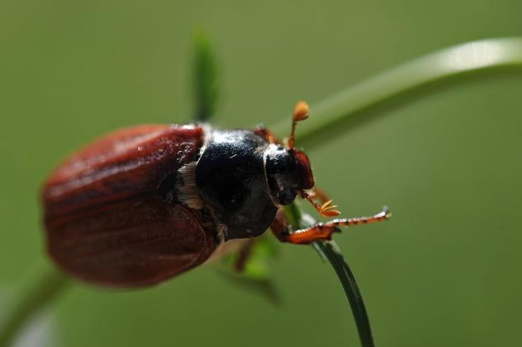 les 25 meilleures id es de la cat gorie hanneton insecte sur pinterest scarab insectes et. Black Bedroom Furniture Sets. Home Design Ideas
