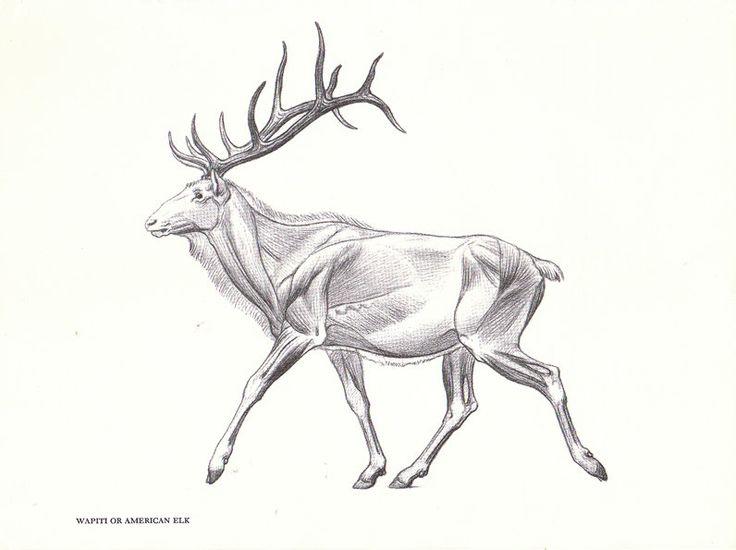 The 104 Best Anatomy Animal Images On Pinterest Animal Anatomy
