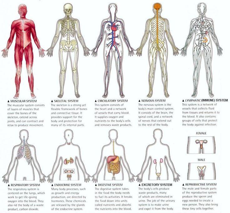 Google Image Result for http://3.bp.blogspot.com/-d0L9NRNOgwo/TV9X1d0ImDI/AAAAAAAAAPc/X8ZT_xuTrqk/s1600/I10-82-organs.jpg