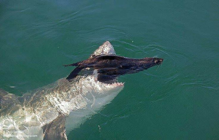 Great White Shark attacking a Seal.