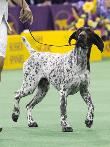 C.J., a German shorthaired pointer, won the Westminster's Best in Show 2/16/2016