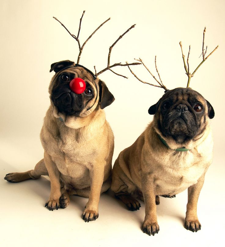 Christmas Pugs!!! I bet they've been nice! #pug #christmas #dogs
