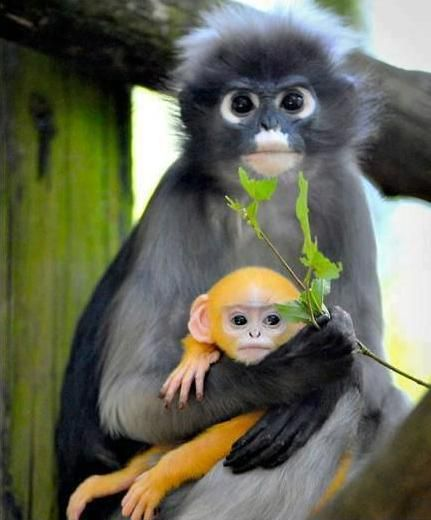 dusky leaf monkey (it is found in Malaysia, Burma and Thailand) holding her baby - Imgur