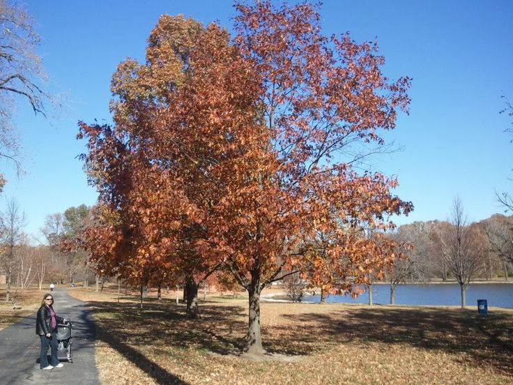 Don T Forget Oaks For Late Fall Color Autumn Trees Fall Colors Oaks