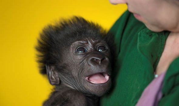 Baby gorilla in the arms of a zoo keeper