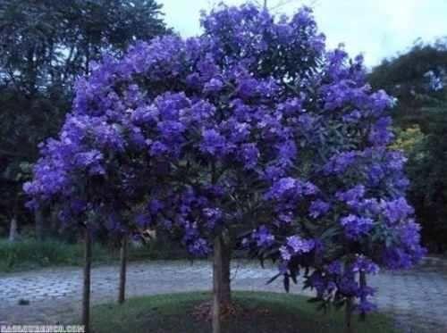 Semillas De Tibouchina Granulosa Variedad Violeta (Semillas) a ARS ...