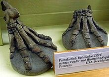 Pantolambda bathmodon fore and hind foot casts at the Museum für Naturkunde, Berlin, Germany.