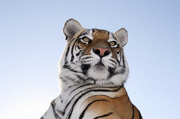 Low angle view of a Tiger (Panthera tigris) with blue skies behind. Tiger Canyon Philippolis, Free State Province, South Africa