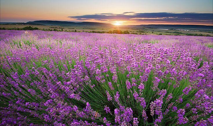 Лаванда в цвете. Тургеневка. Крым