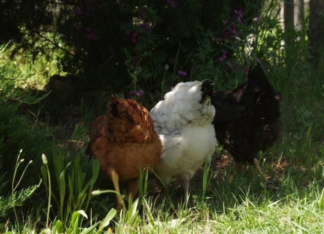 3 jolies poulettes vues de dos ! - Galeries photos Poule's Club