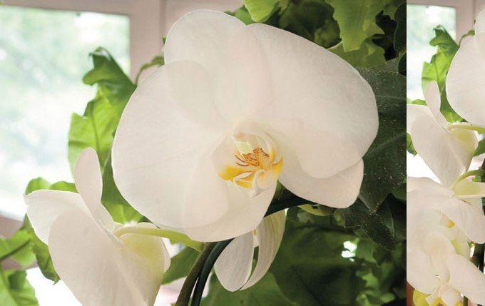 Leitora quer saber como fazer a orquídea florescer pela segunda vez. Especialista ensina o melhor método