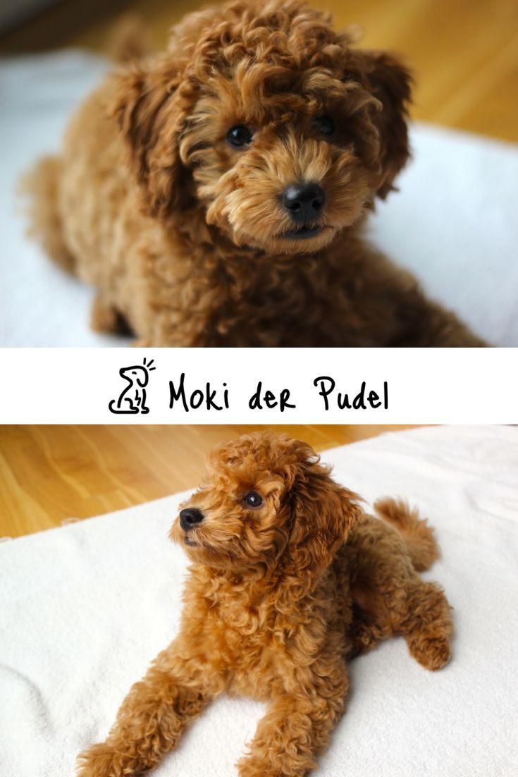 Zwergpudel Welpe Moki Poodle Puppy Poodle Puppies