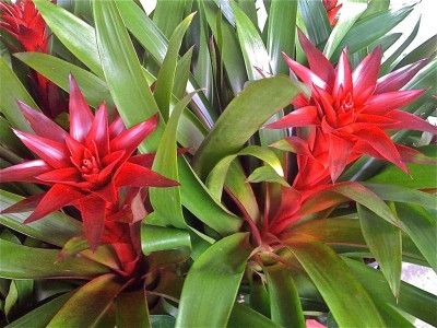 When you have a bromeliad to care for, you might be wondering how to water it. Watering Bromeliads: How To Water A Bromeliad - Watering bromeliads is no different than any other houseplant care, with exception to having its own water tank. Learn more here.