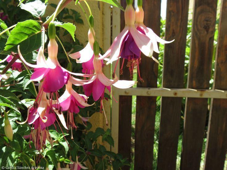 Fucsias del jardín - Fuchsia from my garden