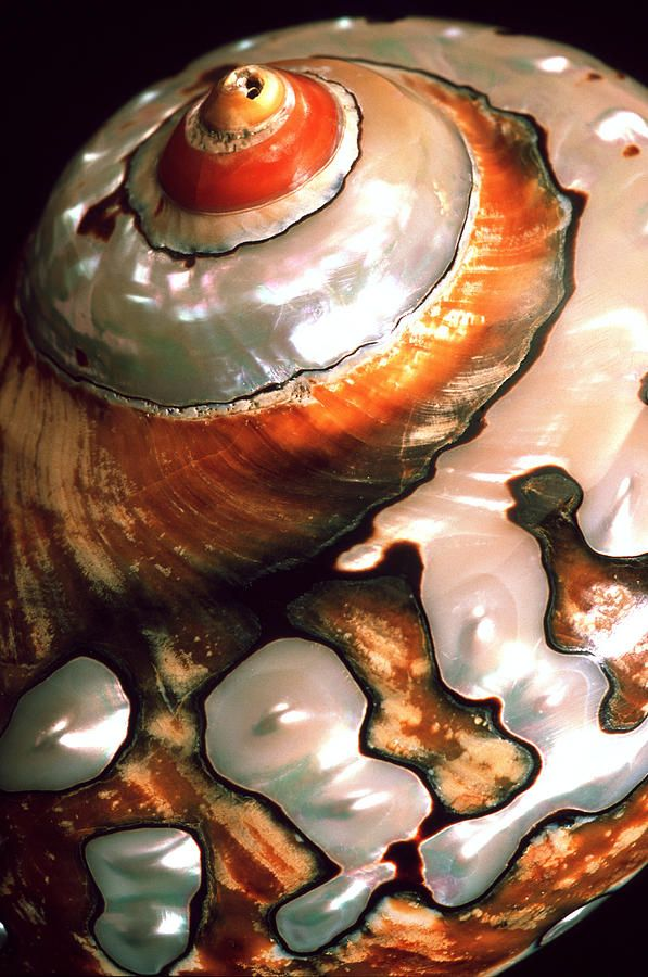 African Turbo Shell - ©Dirk Wiersma / Science Photo Library (via FineArtAmerica)