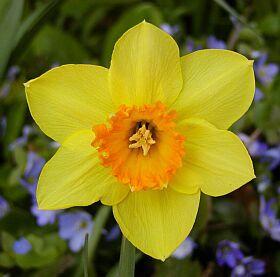 Na rozdíl od tulipánu se cibule narcisu každým rokem nespotřebovává, ale dorůstá vytvářením nových suknic a potom se dělí. Květ vyrůstá