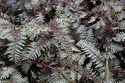 Click to view full-size photo of Regal Red Painted Fern (Athyrium nipponicum 'Regal Red') at Hicks Nurseries