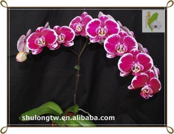 Phalaenopsis Orchid Seedlings   Maroon Phalaenopsis Tissue Culture Plant Taiwan Orchid Nursery Flask ...
