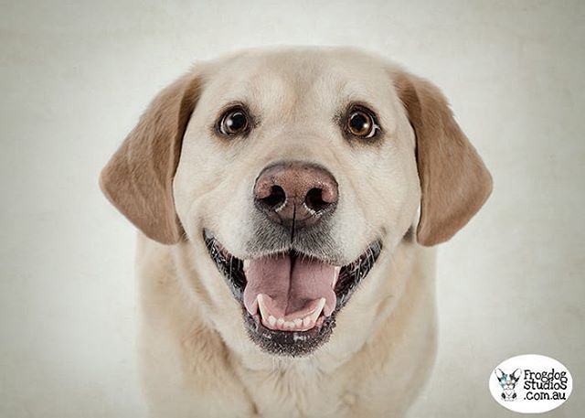Calling All Labrador Pawrents Frog Dogs 25 Breeds Of Christmas Giveaway Family Dog Week Day 13 Show Us Your Lab After The Bli Labrador Family Dogs Dogs
