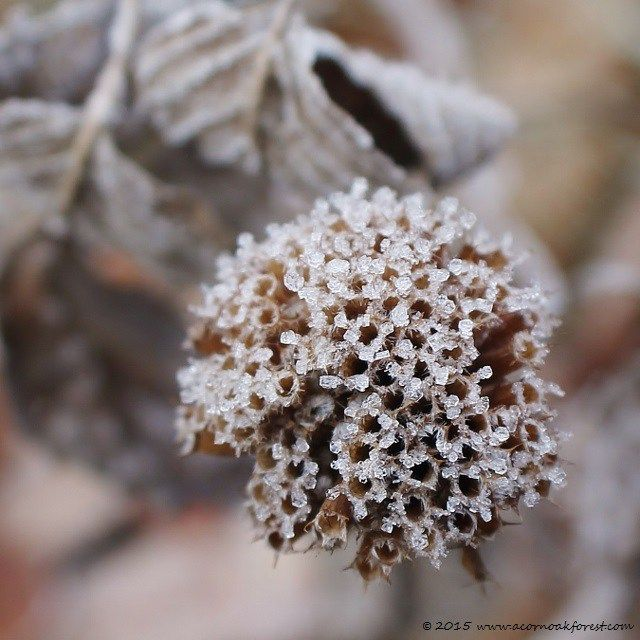 A sharply cold morning and the frost-tipped seed head of a Wild Bergamot flower in my prairie - made me smile. Mindful Life