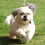 """34 Likes, 7 Comments - Alfie; A Rescued Dog Who Blogs (@alfie_the_angry_shih_tzu) on Instagram: """"Let's play a game! If you like my video (and who wouldn't!?) hit 'send to' and select the first…"""""""