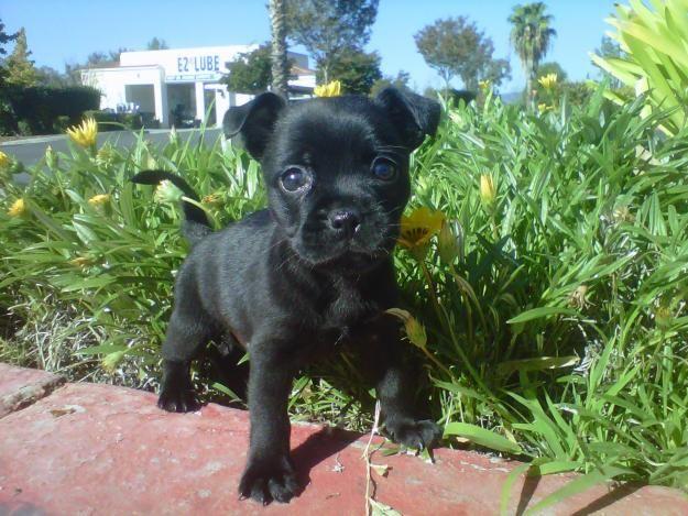Faux-Frenchbo-Bulldog - Cross breed between Boston Terrier/French Bulldog
