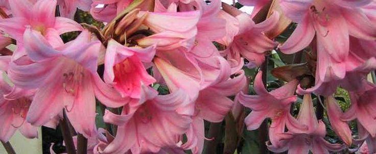 Amaryllis belladonna by Kell