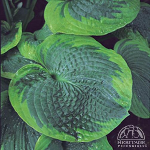Hosta 'Olive Bailey Langdon' is an improved version of classic 'Frances Williams' that is less prone to spring burn.